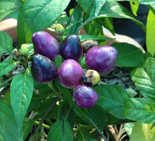 Capsicum frutscencs_02
